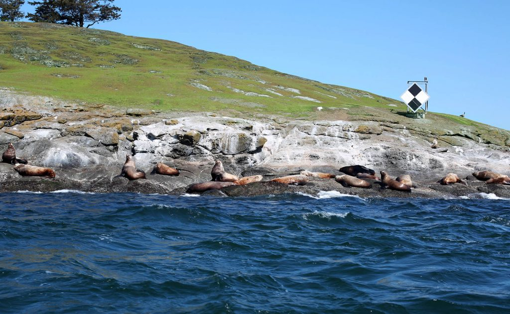 Sea Lions on Spieden Island Eco Tour