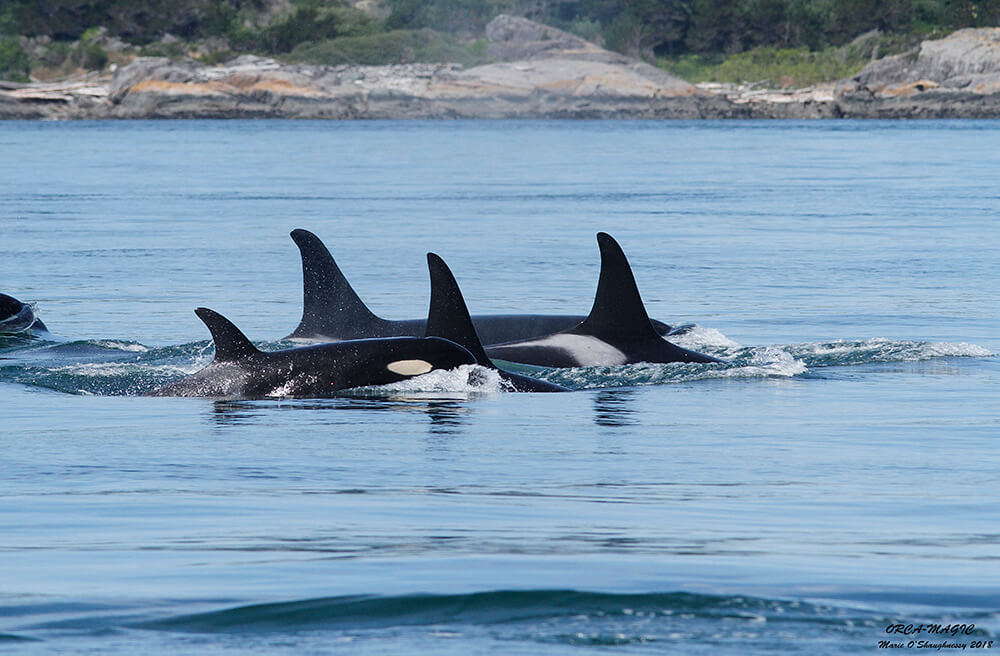 Whale Watching Killer Whales